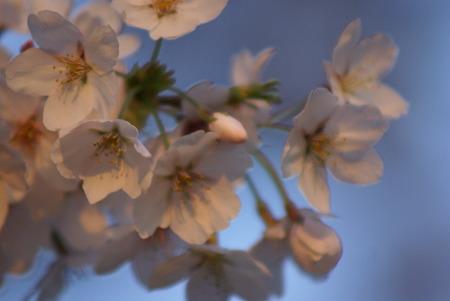 朝陽をあびる桜・その4