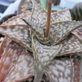 写真: Aloe cv. Winter sky