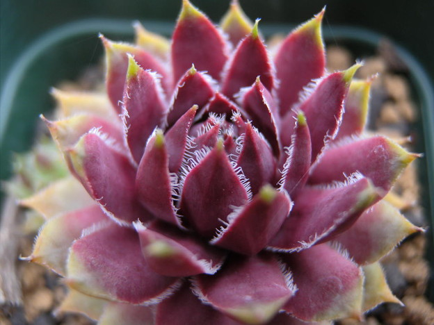 写真: Sempervivum 'Lavender lace'
