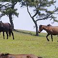 Photos: s9279_都井岬の野生馬