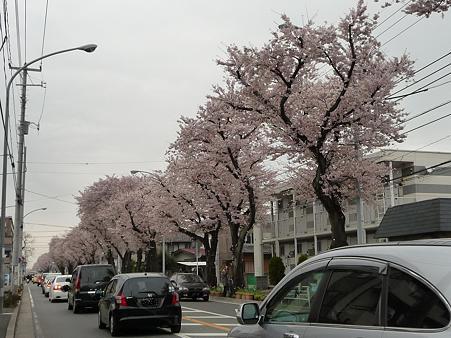 100404-海軍道路の桜 (3)