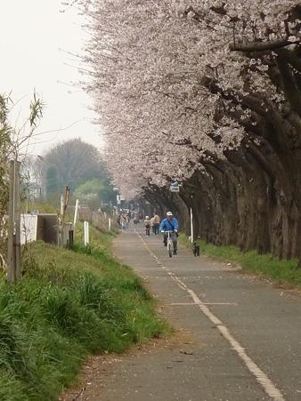 100404-海軍道路の桜 (52)