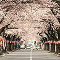 満開の桜並木道(2009)