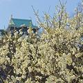 Photos: 白梅と城