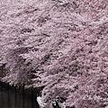 Photos: 流れ落ちる桜。