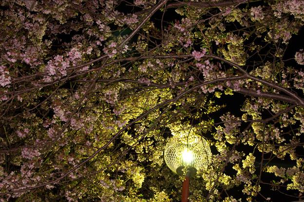金粉入り夜桜^^
