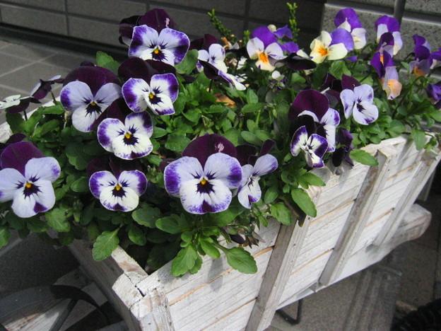 花車のビオラ