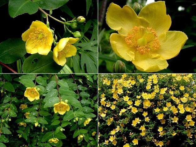 キンシバイ と タイリンキンシバイ 花の比較に・・・