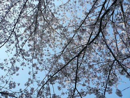 100406 桜 2