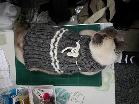 猫セーター宣伝部長に昇進したシャムくん