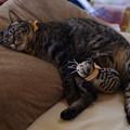 写真: 俵猫と添い寝