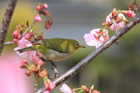 2010.03.18 和泉川 さくらにメジロ-5