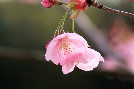 2010.03.23 和泉川 さくら-1
