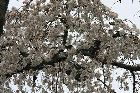 2010.04.01 長興山 枝垂桜 満開 雨 メジロ
