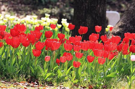 2010.04.19 横浜公園 チューリップ祭り-7