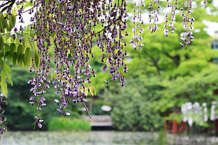 2010.05.12 鎌倉八幡宮 雨の蓮池と藤