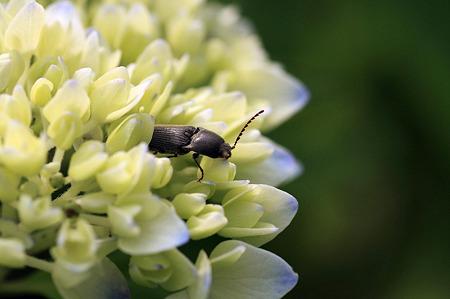 2010.05.26 和泉川 紫陽花とミツノゴミムシダマシ