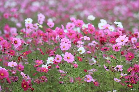 2010.10.25 湯の台スキー場 秋桜