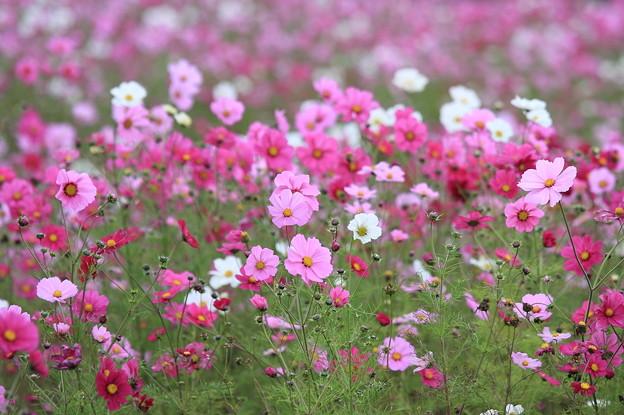 Photos: 2010.10.25 湯の台スキー場 秋桜