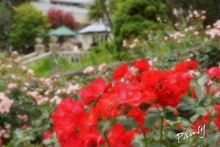 rose garden..19