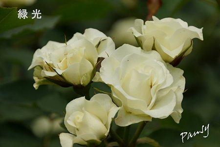 rose garden..24