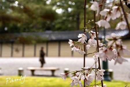 しだれ桜・・13 京都御苑 2010