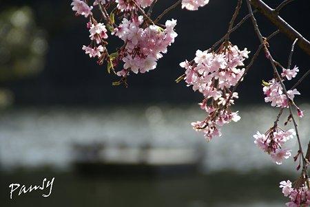 桜咲く・・お濠・・2