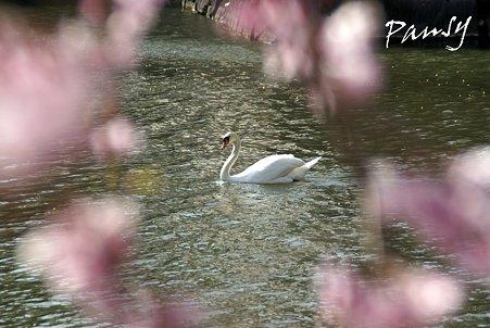 桜の輪のなかに・・