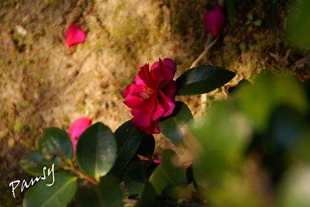 red camellia..