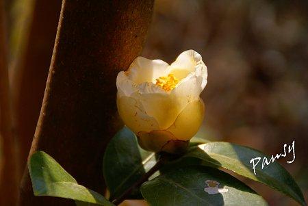 white camellia..
