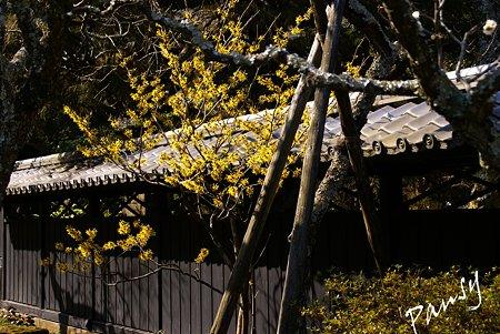 マンサク爛漫・・ 早春の東慶寺にて・・10
