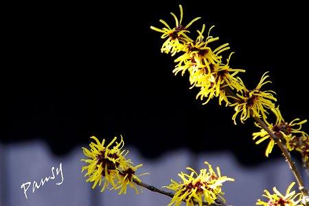 マンサクの花・・早春の東慶寺にて・・11