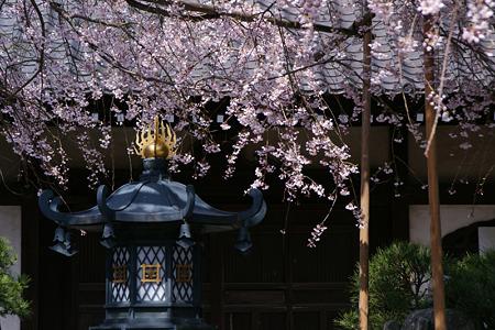 しだれ桜、本覚寺!(100327)