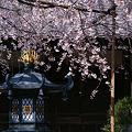 Photos: しだれ桜、本覚寺!(100327)