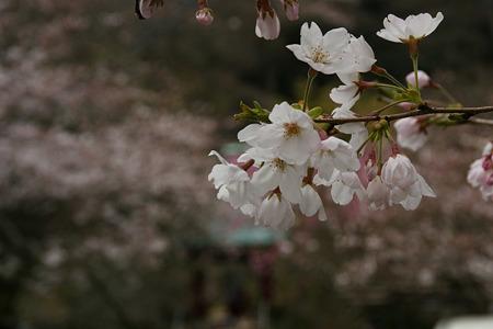 桜咲く参道、光則寺!(100327)