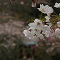 Photos: 桜咲く参道、光則寺!(100327)