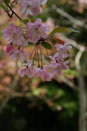 ぶら下がる海棠の花、妙本寺!(100411)