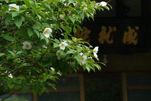 Photos: 成就院の夏椿!(100619)