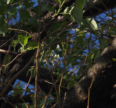 虫に食われてた桜復活