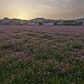 Photos: 夕陽のレンゲ畑