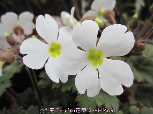 雪桜~シネンシス・スタラータ