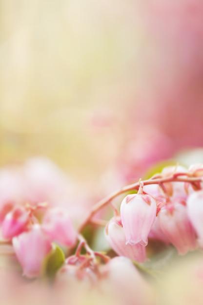 ピンクのぶどう