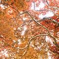 写真: 春の紅葉