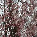 写真: 枝垂れのアップ