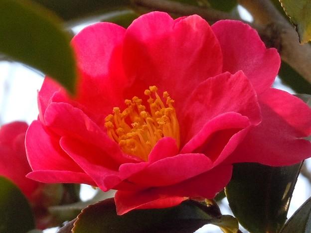 北風に咲く~サザンカの花~