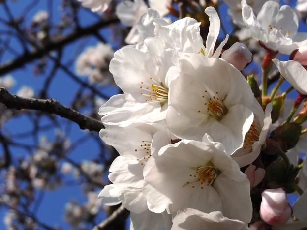 陽春の候~千光寺山の染井吉野さん~
