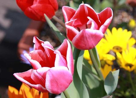 サンテパルク田原 チューリップ祭り 2010' 3月20日(土)〜スタート-220320-1