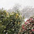 Photos: 2月12日 雪