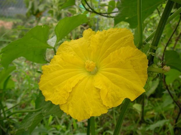 ヘチマの花2