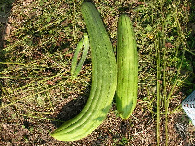 ヘチマ収穫